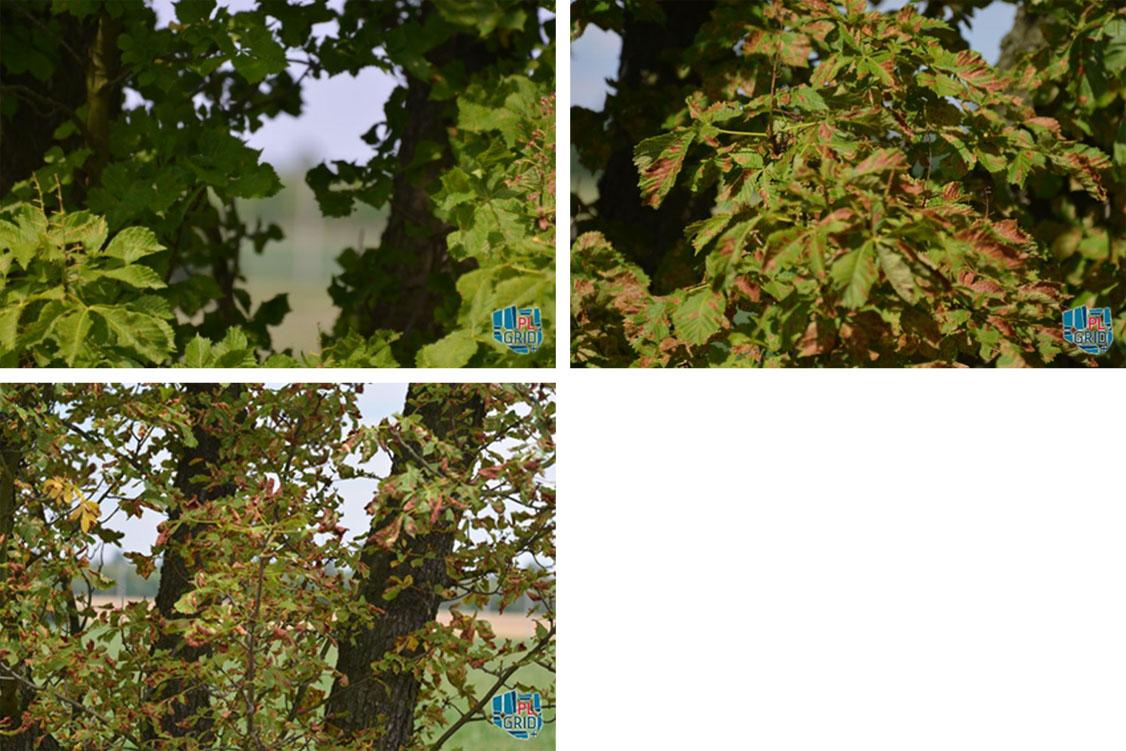 Na zdjęciach widoczny stopień porażenia liści przez szrotówka kasztanowcowiaczka w różnych okresach rozwoju wegetacji.