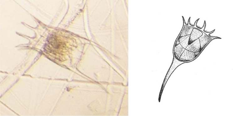 Po lewej mikroskopowe zdjęcie Keratella sp, po prawej poglądowy szkic wrotka (grafiki autorstwa E. Wiktorowicz).