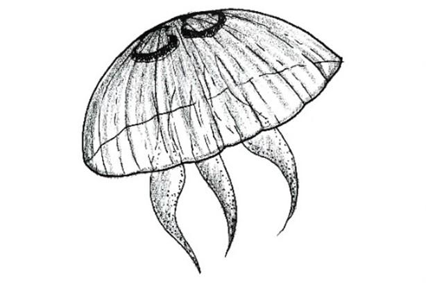 Chełbia modra Aurelia aurita (grafiki autorstwa E. Wiktorowicz).