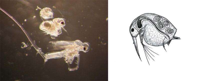 Przedstawiciele Wioślarek. Na mikroskopowym zdjęciu po lewej od góry: Bosmina longispina, Podon sp., Cercopagis penogi, po prawej poglądowy szkic budowy Bosmina longispina – samica z jajami (grafiki autorstwa E. Wiktorowicz).