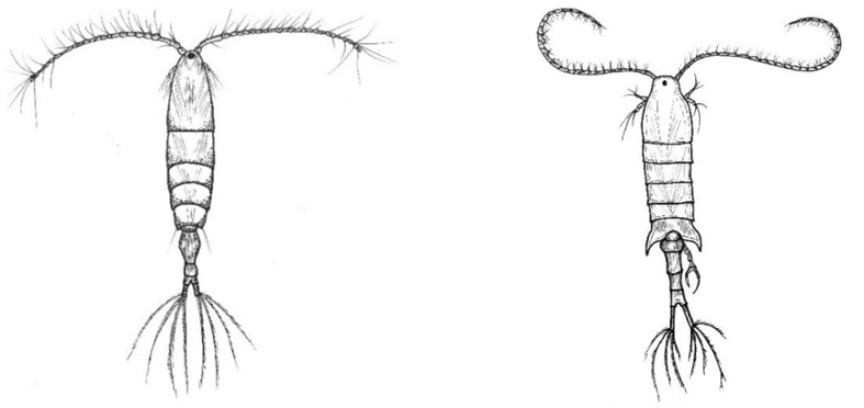 Po lewej rysunek poglądowy samica Acartia longiremis, po prawej samiec Centropages hamatus (grafiki autorstwa E. Wiktorowicz).